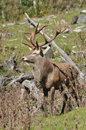 Point stag red deer cervus elephus west coast south island new zealand Royalty Free Stock Photo