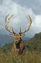 Point stag a red deer of sci west coast south island new zealand Stock Photo