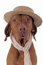Pointer dog with straw hat and scarf Stock Images