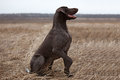 Pointer hunting dog sitting in a field Stock Photos