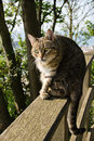 Poised for action cat on a wooden railing in a wooded area looking ready to pounce Stock Images