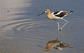 Poised american avocet an recurvirostra americana wading in a flooded ditch shot near reed lake saskatchewan canada Stock Photo