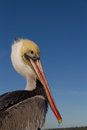 Poised pelican perched on a post anxiously watching Stock Image