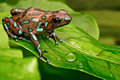 Poison art frog panama dart dendrobates auratus from the tropical rain forest of beautiful poisonous rainforest animal exotic Royalty Free Stock Image