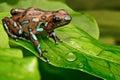 Poison art frog Panama Royalty Free Stock Photo