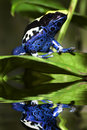 Poison dart frog Royalty Free Stock Images