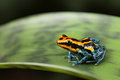Poison dart frog Stock Photos