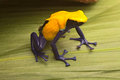 Poison dart frog amazon rain forest yellow dendrobates tinctorius citronella beautiful small amphibian from tropical in suriname Stock Photo