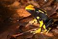 Poison dart frog black and yellow amazon amphibian Royalty Free Stock Photo