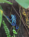 Poison dart frog dendrobates azureus climbs the liana in a natural habitat Royalty Free Stock Photo