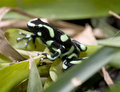 Poison dart frog, green and black Royalty Free Stock Photos