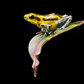 Poison dart frog from panama rain forest this exotic amphibian has many color variations this yellow morph of the strawberry frog Stock Photos
