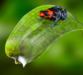 Poison dart frog Peru Royalty Free Stock Images