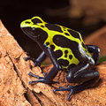 Poison dart frog poisonous animal Royalty Free Stock Image