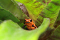 Poison dart frog pumillio perched in a plant Royalty Free Stock Photo