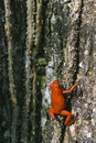 Poison Dart Frog on Tree Trunk Royalty Free Stock Photos