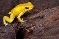 Poison frog Stock Images