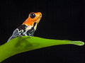 Poison frog Stock Photos