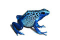 Poison frog dendrobates azureus dart in white Royalty Free Stock Photo