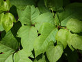 Poison ivy macro closeup growing low to the ground Royalty Free Stock Image