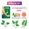 Poison ivy vector illustration. Educational dangerous urushoil plant scheme