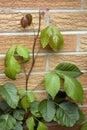 Poison Ivy Vine Stock Images