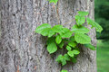 Poison ivy vine growing up the side of a mature tree Royalty Free Stock Photos