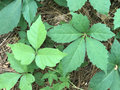 Poison Ivy Or Virginia Creeper?