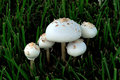 Poison Mushroom - Chlorophyllu...