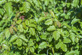 Poison oak beautiful green toxicodendron diversilobum bush in natural environment Stock Images
