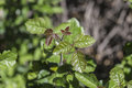 Poison oak showing fresh spring growth Royalty Free Stock Images