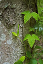 Poison oak vine growing on a tree in the backwoods of kentucky Stock Photos