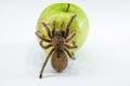 Image : Tarantula on apple   top