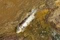 Poisoned fish Stock Photography