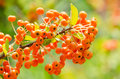 Poisonous berries fruits close up Royalty Free Stock Photos