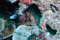 Poisonous Lionfish Royalty Free Stock Image