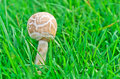 The Poisonous mushrooms Royalty Free Stock Image