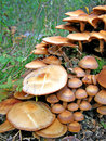 Poisonous mushrooms Royalty Free Stock Photo