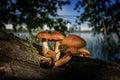Poisonous mushrooms Royalty Free Stock Photo