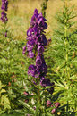 Poisonous plant aconite flowering aconitum napellus Royalty Free Stock Photos