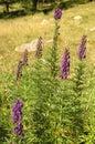 Poisonous plant aconite flowering aconitum napellus Stock Photos