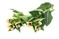 Poisonous plant henbane black (Hyoscyamus niger) Royalty Free Stock Photo