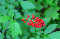 Poisonous red baneberries actaea rubra pretty but bitter and Stock Photos