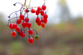 Poisonous red berries Royalty Free Stock Photo