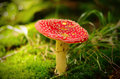 Poisonous red mushroom Royalty Free Stock Photo