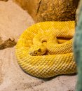 Poisonous yellow snake in attack position