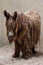 Poitou donkey Equus asinus Royalty Free Stock Photo