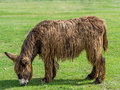 Poitou donkey poitevin donkey on green grass Stock Images