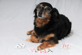 Poker dog one smart old black playing on a white background Stock Image