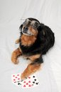 Poker dog one smart old black playing on a white background Royalty Free Stock Images